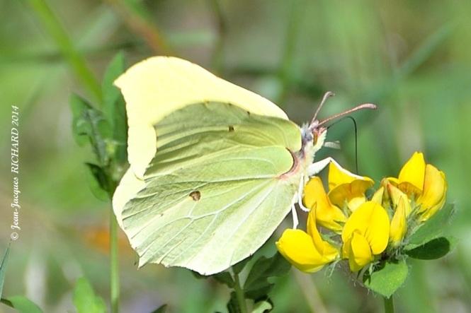 papillon citron Gonepteryx rhamni