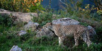 ok leopard 7877